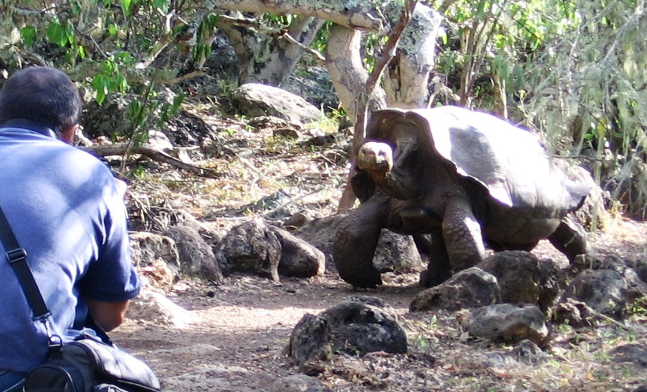 charging-giant-tortoise-galapagos-island-tours-cropped